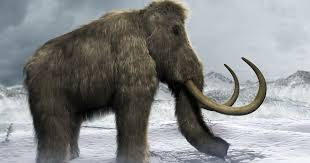 reason iconic woolly mammoths died