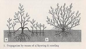 vegetative propagation of ornamental shrubs
