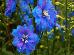 Pretty Blue Wallpapers by Pretty Blue Flowers Pink Garden Flower Wallpapers Big Size
