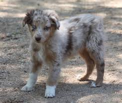 3 month australian shepherd litter of 6 australian shepherd puppies for sale in acton ca adn