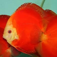 Buy Ornamental Fish Aquarium Fish Melon Discus Buy Discus Fish For Sale