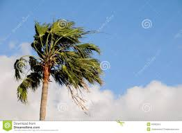 palm tree blowing in the wind stock photo image of hurricane