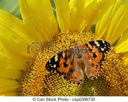 butterfly on sunflower butterfly resting on sunflower stock