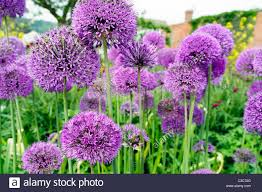 allium flowers purple alliums flowering in an garden border uk allium