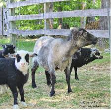 raising shetland sheep guide to starting a flock