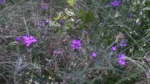 native plants in the desert medicinal plants of the sonoran desert desert vervain herbalist