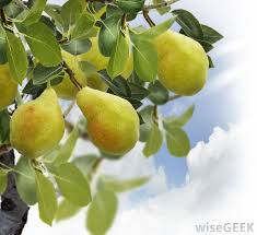 what are some easy fruit trees to grow with pictures