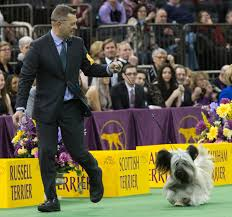 lexus westminster finance photos dogs battle it out for westminster best in show katu