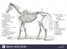 horse anatomy bones skull bones anatomy coloring pages skull bones