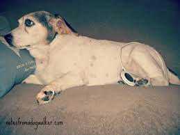no surgery no problem treating our dog u0027s acl tear notes from a