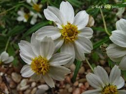 austin texas native plants rock rose texas native plant week