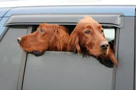 Dog In Shower by Why Do Dogs Stick Their Heads Out Of Car Windows Mental Floss