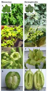 flowers and fruit plant habit flowers and fruit of monoecious and