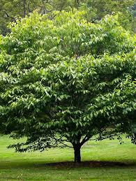 best fast growing shade trees for small yards with 28322