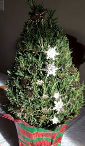 Rosemary Topiary How To Keep My Rosemary Christmas Tree Alive