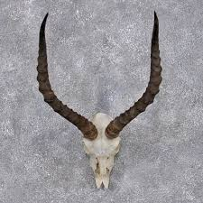 horns for sale impala horns for sale 12420 the taxidermy store