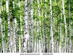birch tree stock images royalty free images vectors