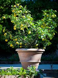 meyer lemon trees for sale fast growing trees