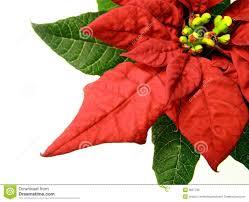 Christmas Flowers Red Poinsettias Christmas Flower Royalty Free Stock Image Image