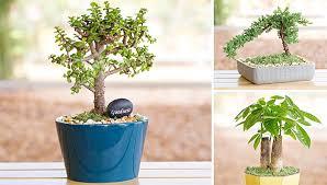 instant bonsai