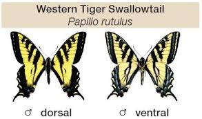 the tiger swallowtail papilio rutulus bee farms
