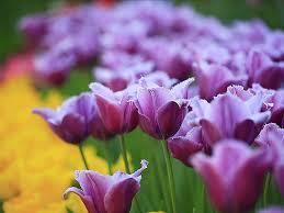 wallpaper bunga tulip tulip flower wallpapers group 89