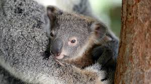 koala joey new ngsversion 1437161006993 jpg