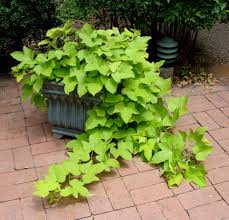 hanging basket plants for sun green potato container jpg