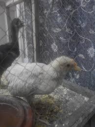 marek u0027s disease in my chickens help backyard chickens