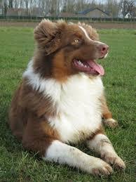 australian shepherd fur 2076 best dogs images on pinterest aussies animals and