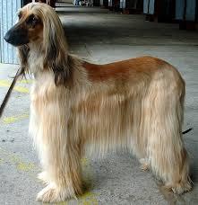 afghan hound puppies ohio levrier de balkh canins pinterest afghans