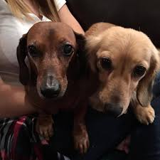 41 dachshunds were recently rescued from an arkansas puppy mill