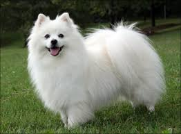 american eskimo dog odor june 2013 neat pets dogs u0026 cats