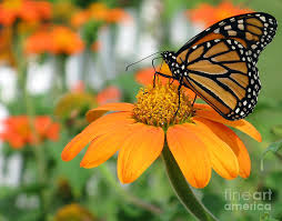 monarch butterfly on tithonia flower photograph by schultz