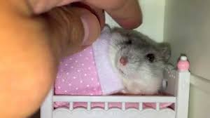 Tiny Tiny Tucking My Hamster In Her Tiny Bed But She U0027ll Only Sleep After