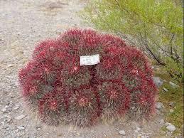nevada native plants cactus wrangling desert road trippin u0027