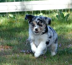 running with australian shepherd puppy 153 best dieren australian shepeard mini images on pinterest