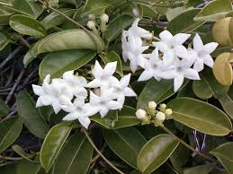 stephanotis flowers info on the stephanotis flower houseplant