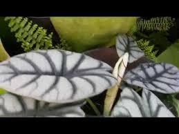 alocasia caladium or elephant s ears outdoor ornamental