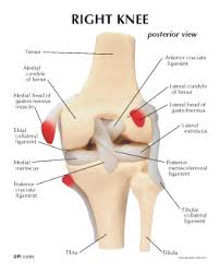 Right Knee Anatomy Human Knee Model 1000 For Sale Anatomy Now