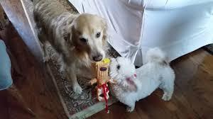 bichon frise cute cute bichon frise little dog u0026 golden retriever playing tug of war