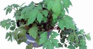darfaherba pusat obat herbal alami perkasa karena purwoceng