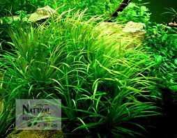 Aquascape Aquarium Plants 88 Best Aquatic Plants Images On Pinterest Aquatic Plants