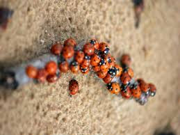 What Do Bed Bugs Eat Lady Bug U0026 Asian Lady Beetle Creature Control