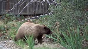 bear spotted romping through pasadena backyards ktla