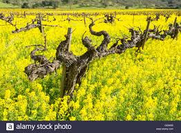 napa valley ground mustard in napa valley with mustard flowers stock photo 105077425