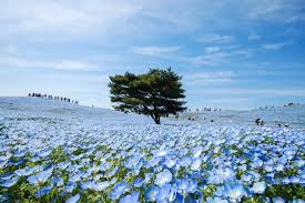 blue flowers nemophila blooms at japan s hitachi seaside park