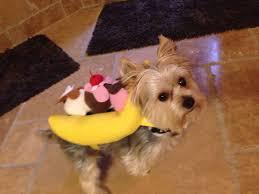 spirit halloween olympia wa morkie dog banana split sundae costume fall u0026 halloween