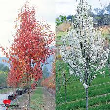 ornamental pear frontier perth wa garden centre