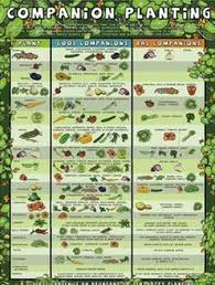 herb growing chart companion planting chart for herbs and vegetables gardening and